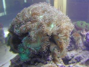 Hard corals marine aquariums and coral reef aquarium tank for Aquarium elegance
