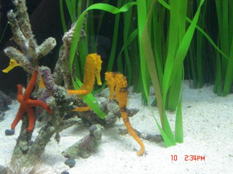 Seahorse Reidi Aquarium, Hippocampus Aquarium Design, Marine ...